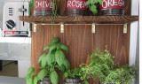 Mutfakta tüketebileceğiniz bitkiler kavanozda saksı