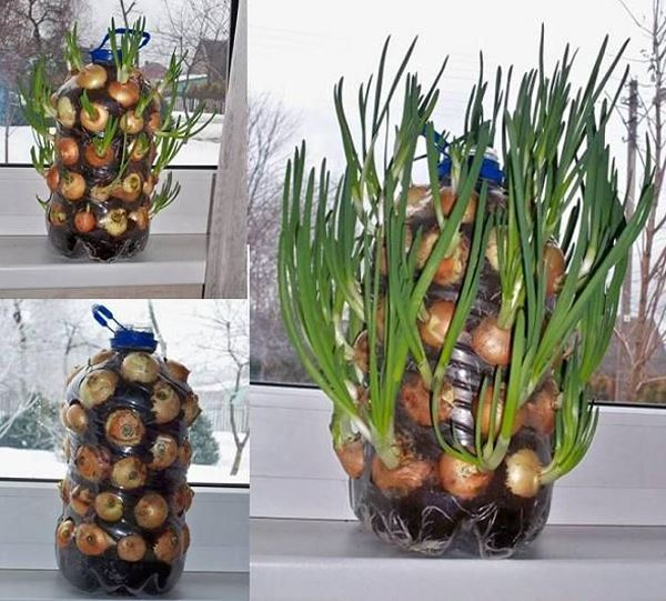 5 liter water bottle potted onion