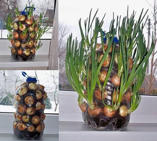 5 litrelik su şişesi saksı soğan