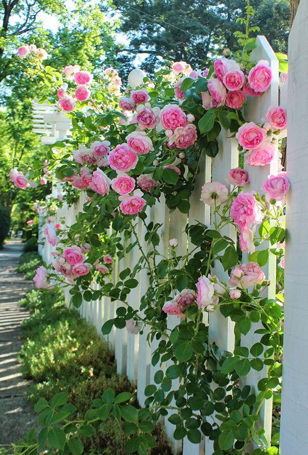 Bahçe çiti için sarmaşık gülü